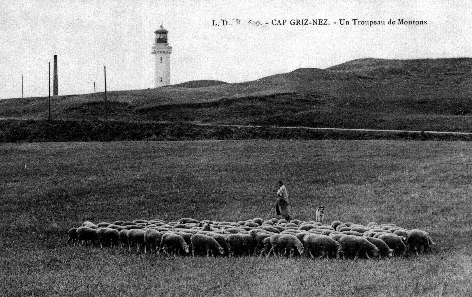 Un troupeau de moutons au Cap Gris Nez