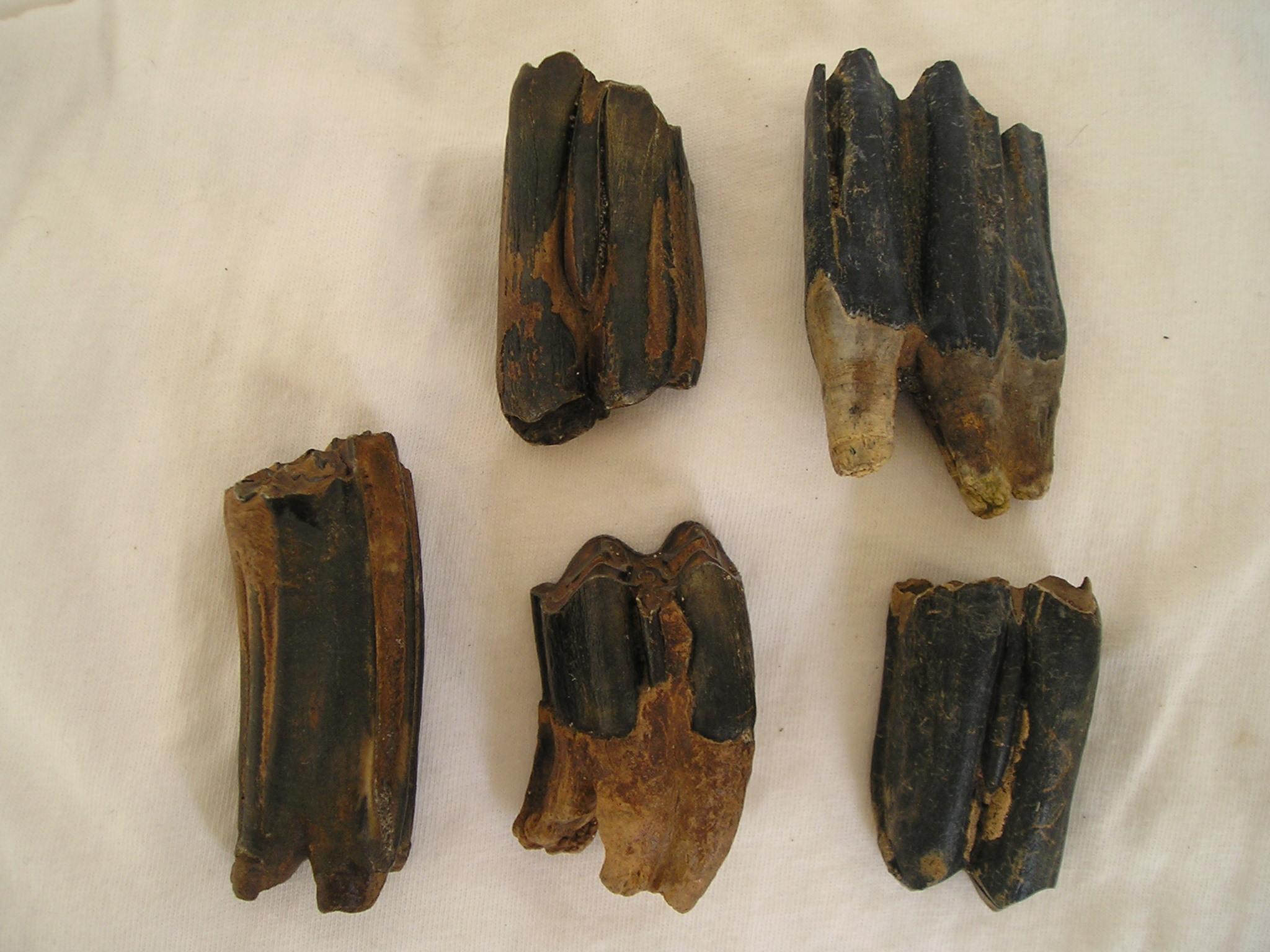 Dents de ruminants trouvés dans les tourbes littorales du Châtelet à Tardinghen